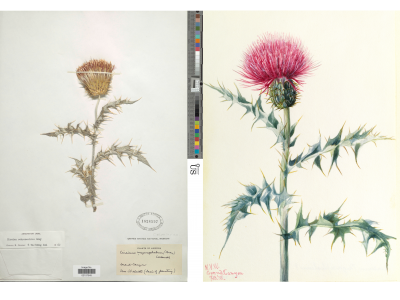 image of a flower collected by MV Walcott and an illustration based on that flower